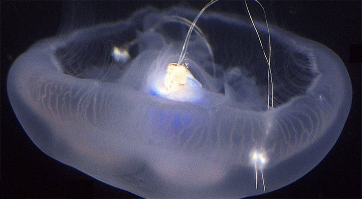محققان سرعت شنای طبیعی عروس دریایی را حدود سه برابر افزایش دادند